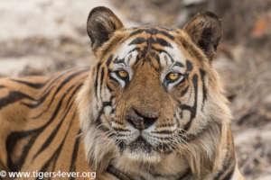 Wild Tiger - Bandhavgarh National Park