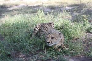 Martin the cheetah