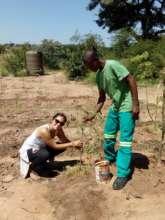 Planting Moringa tree