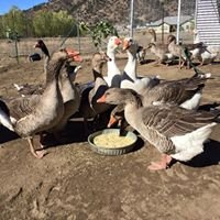 Ducks & Geese Need You!  Be a Waterfowl Warrior!