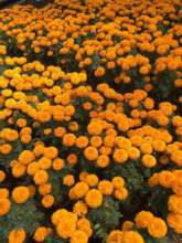 Cempasuchil flowers produced in Xochimilco