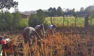 Gardeners with a women's group working with quinoa