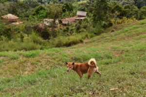 Indigenous dog with Ikundi household compound