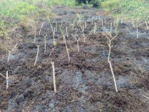 Newly planted cassava cuttings.