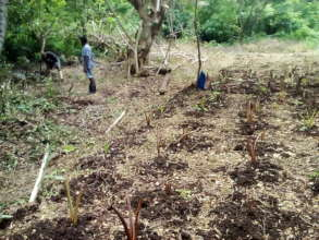 Newly planted taro.