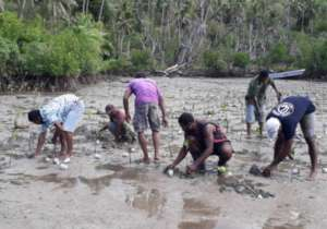 Mangrove planting activity by the villagers.