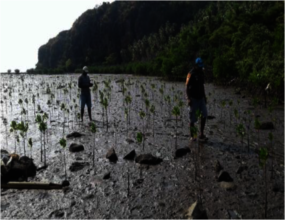 Survey of the growth of mangrove seedlings.