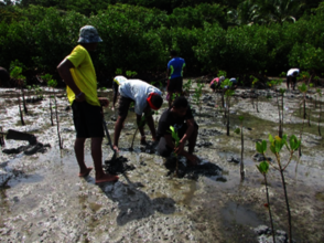 Actual mangrove planting by the locals.
