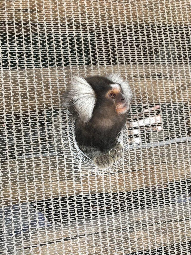 Thor the marmoset