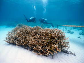 Grupo Puntacana Foundation Coral Restoration