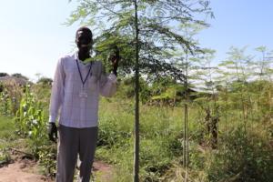A fast-growing Moringa oleifera tree