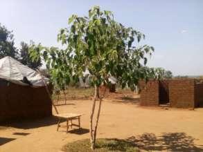 Native tree, fully grown