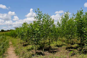 Native trees, fully grown