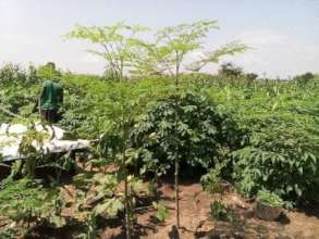 1 year-old moringa amidst a cassava garden