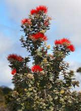 Native Ohi'a Tree