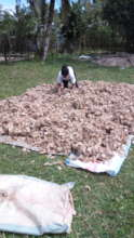 69.5 kilos of cocoons!