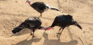 Turkeys in chicken farm
