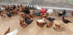 Country chicken farm