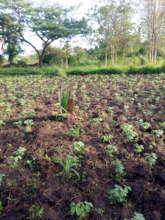 Community planted soya bean for KIFA