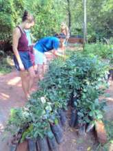 Evergreen tree saplings - ready for planting
