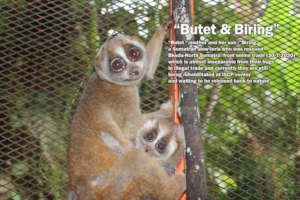 a mother and baby slow loris rescue by iscp