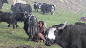 Milking a yak in high Himalayan pasture