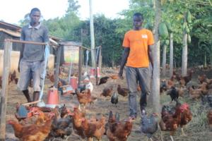 Full grown chicken at model farm