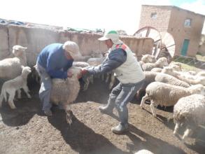 Health work in sheep of Ccahuaya