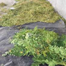 Drying Moringa Before Grinding