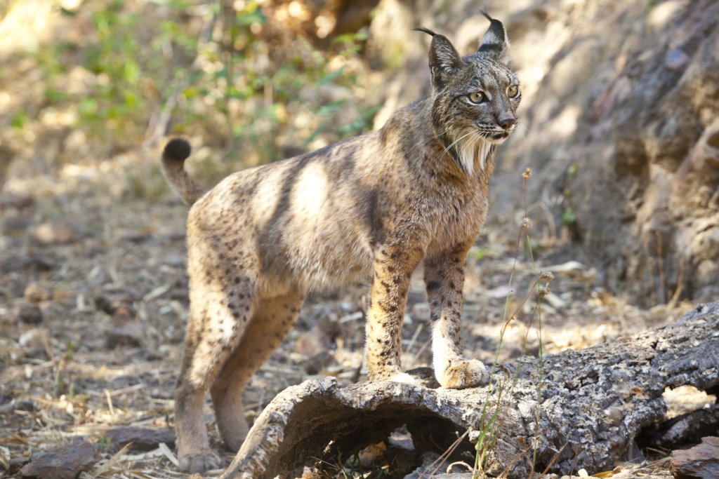 Help the Iberian lynx survive in the wild