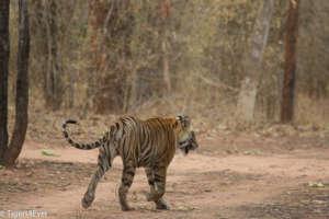 Tiger walks down an empty road