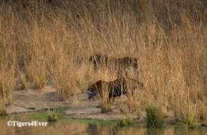 Reducing Human-Tiger Conflict in Bandhavgarh