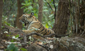 Young female tiger in the forest of Bandhavgarh