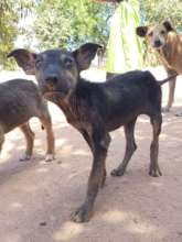 Promoting welfare of dogs in rural South Africa