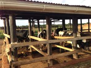 dairy cow shed