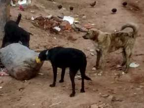 Cusco dogs scavenging for food