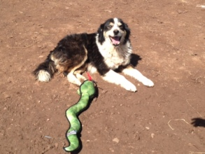 Shelter dog with a new toy!