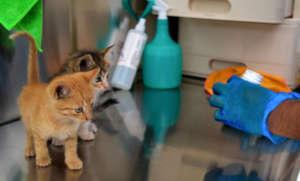 Kittens receiving deworming treatment