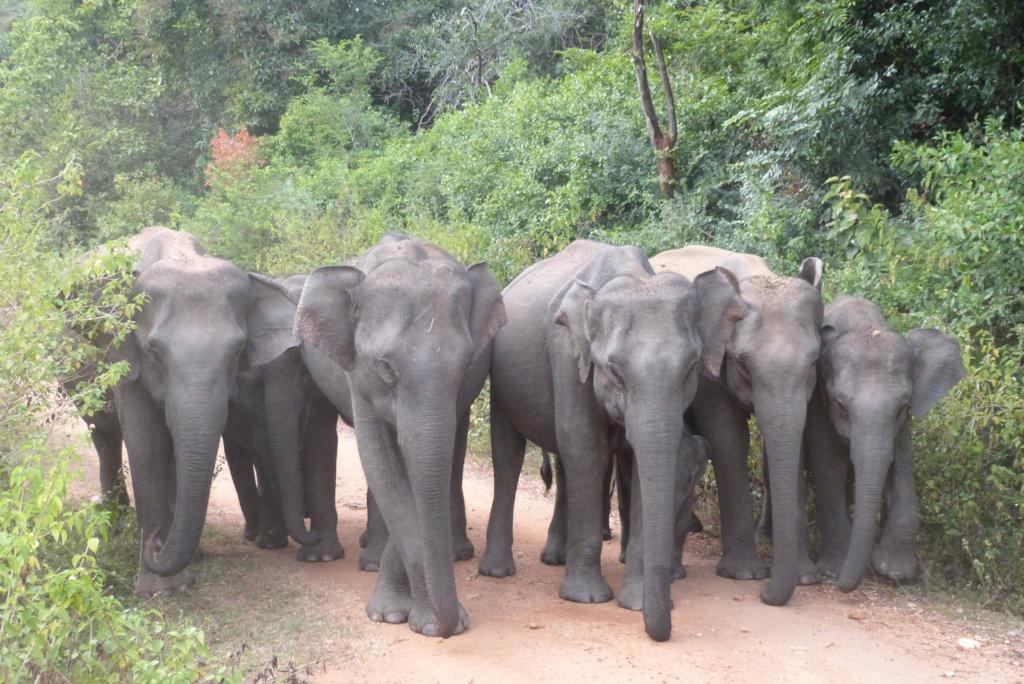 Conserving Wild Asian Elephants