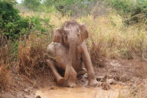 Conserving Wild Asian Elephants