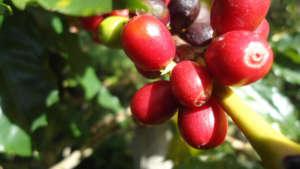 Shaded Coffee Harvest