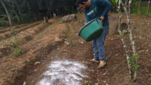 Fertilizing vegetable beds after planting