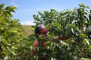 Farmer picking coffee