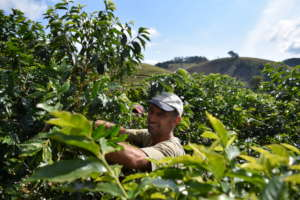 Coffee harvest by local farmers