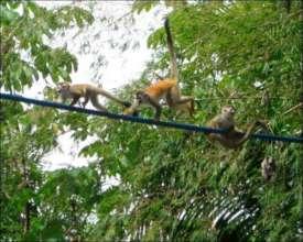 """Titi"" Squirrel Monkeys Using a Wildlife Bridge"