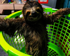 Three fingered sloth received in the rescue center