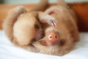 Two baby 2 fingered sloths