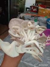 Growing tasty mushrooms for market