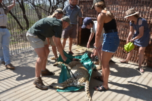 Carrying the cheetah in the capture cage