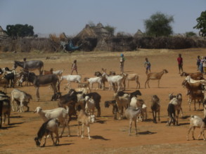 Many, Many Goats - Let's Give More!!
